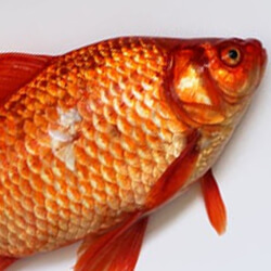 Vitiligo Diet fish restricted