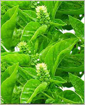 Leucoderma treatment with Basil herbs