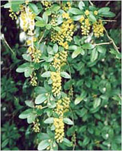 Berberis Aristata for White Patches treatment